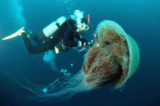 Ubur- Ubur Surai Singa Adalah Hewan Terpanjang Di Laut