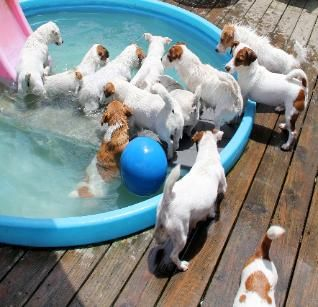 English Short Legged Jack Russell Terrier Puppies For Sale aka Shortiejacks