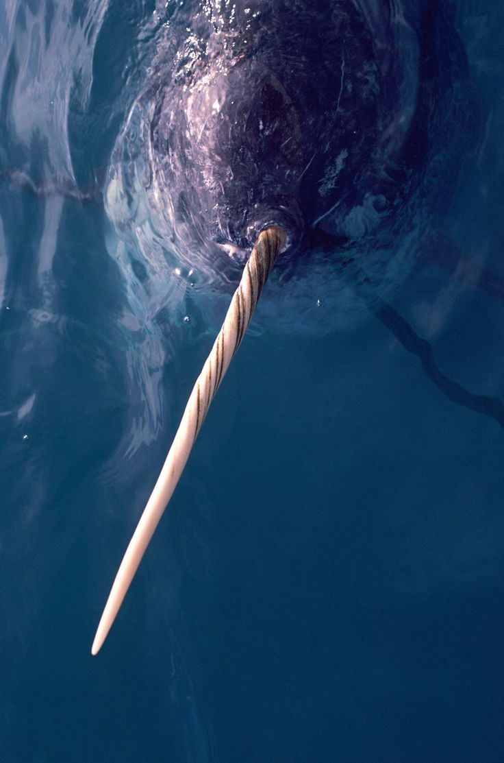 Narwhal, Northwest Greenland by wwf.ca: Monodon monoceros is famous for the long ivory tusk that spirals counter-clockwise up to 9 feet forward from the head of adult males. Once thought to have magical properties, the tusk has recently been shown to have remarkable sensory capabilities – with millions of nerve endings, perhaps to help in locating food. It may also play a role in male dominance. #Narwhal