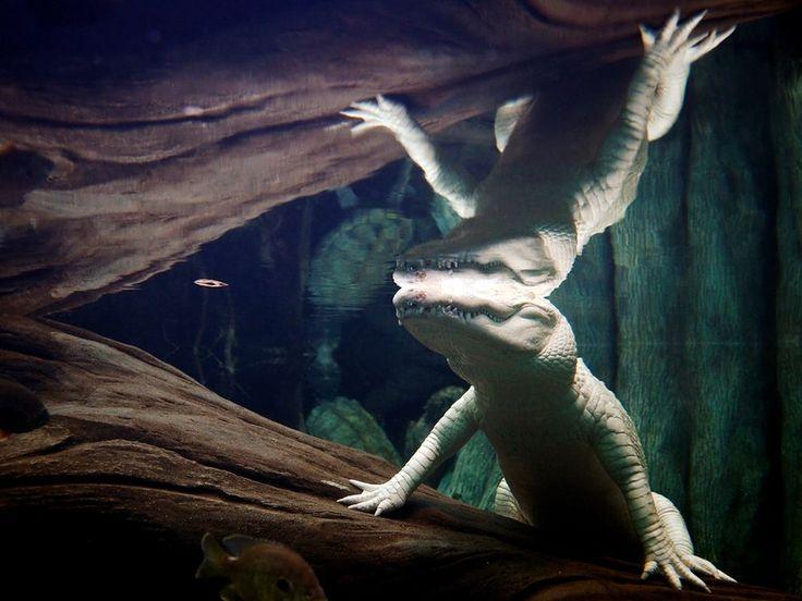 Albino captive white crocodile dress