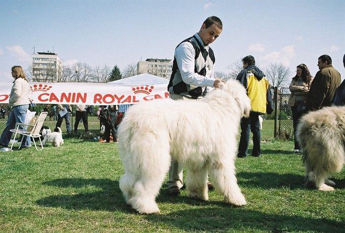 Mioritic Shepherd dog