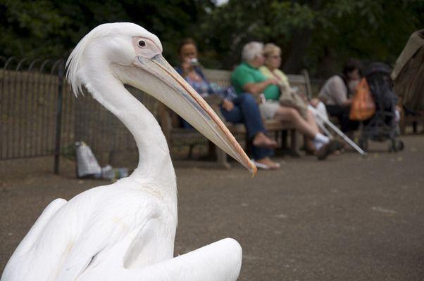 Pelicans of St James's Park   Atlas Obscura
