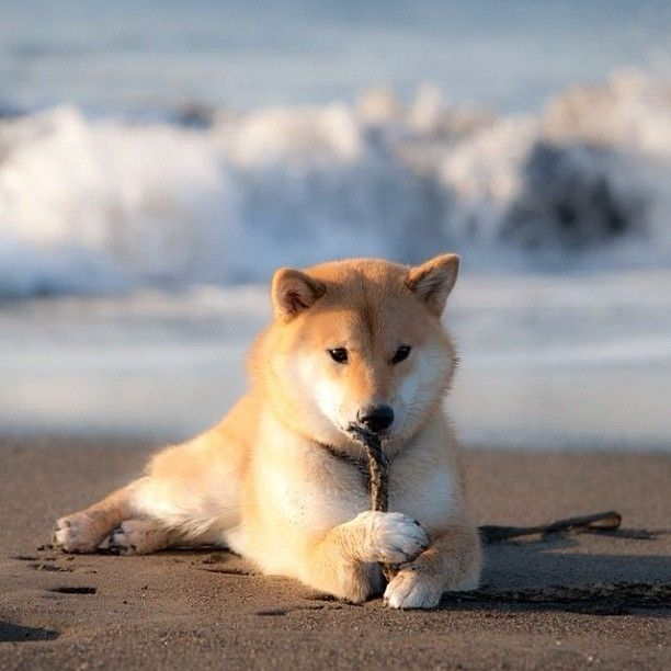 Best Shiba Inu Images On Pinterest Baby Animals Beautiful - Three shiba inus stick their heads through wall to greet passers by