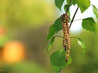 Domowy zielnik: Brzoza- siła drzemiąca w liściach