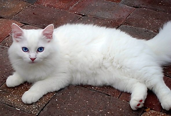 Pure Love Blue Eyed White Ragdoll Kitten Amourtoujours Ragdolls In Naples Florida Cattery Kittens Kitty
