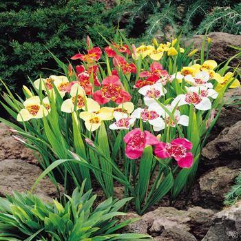Tygrysówka pawia Mix - Tygrysówka pawia łac. Tigridia pavonia ang. Tiger flower - 20 cebul kwiatowych