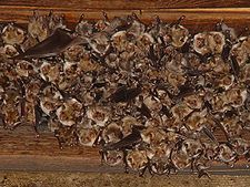 "Bat roosts can be found in hollows, crevices, foliage, and even human-made structures, and include ""tents"" the bats construct by biting leaves."