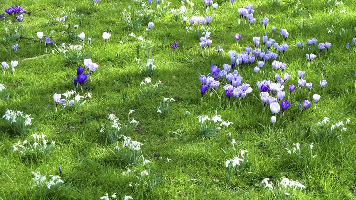 Crocus In Lawns: Tips For Growing Crocus In The Yard - Early spring crocus have much to offer and they needn't be restricted to the flower bed. Just imagine a lawn filled with these blooms. If you're thinking about growing crocus in the yard, there are several things to consider. This article will help.