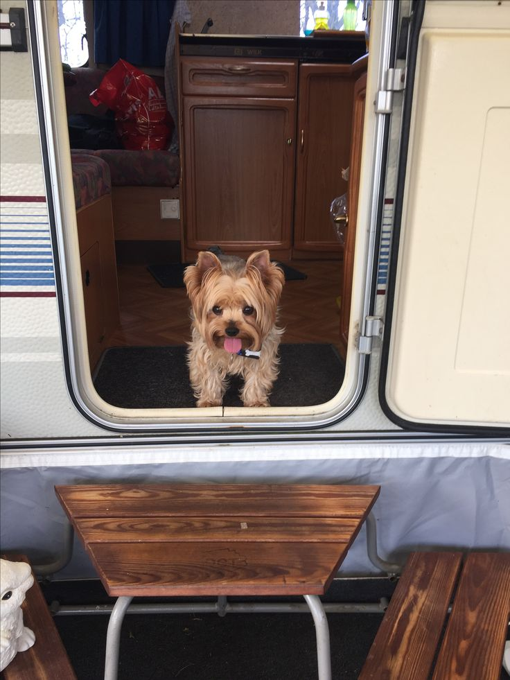 Yorkie Puppies For Sale In Pa Craigslist 2021