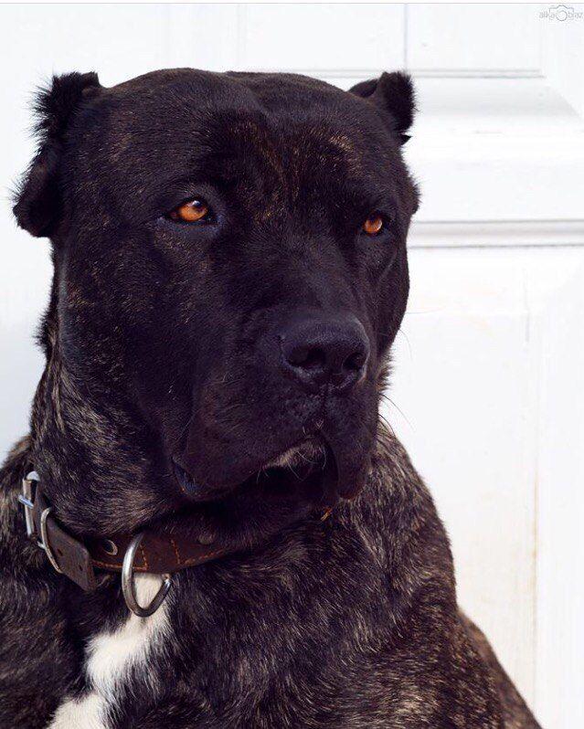 Fighting dogs | Бойцовые собаки (собачьи бои)