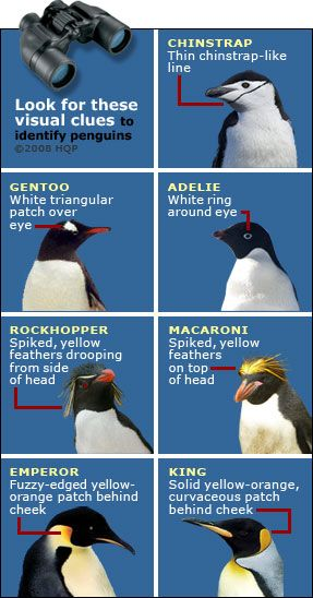 erect crested penguin - Google Search