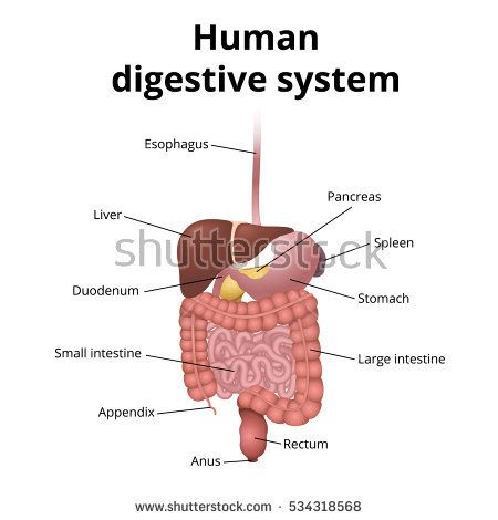 Human gastrointestinal tract anatomy