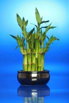 best 25 lucky bamboo plants ideas on pinterest bamboo plants caring for bamboo plant and. Black Bedroom Furniture Sets. Home Design Ideas