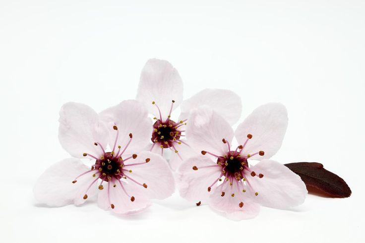 Śliwa wiśniowa - Prunus cerasifera 'Pissardi