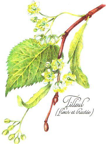 Liste des plantes médicinales & Propriétés médicinales des tisanes