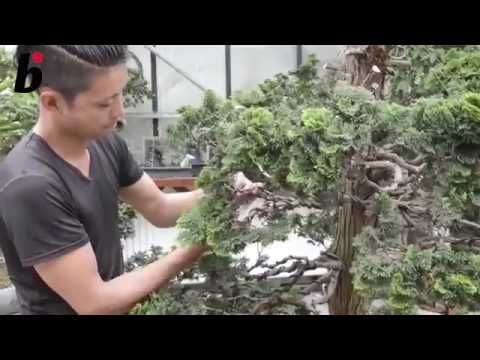 EXPLANATION ABOUT BONSAI CARING BY MASASHI HIRAO