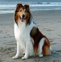 I love collie dogs!