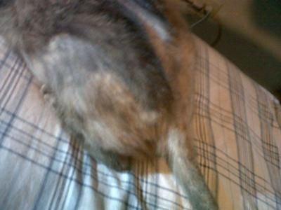 Tail hair loss: Regards,  I have an adult cat that periodically loses hair. The hair loss is usually on the back and tail.  My cat has no fleas or ticks. This situation