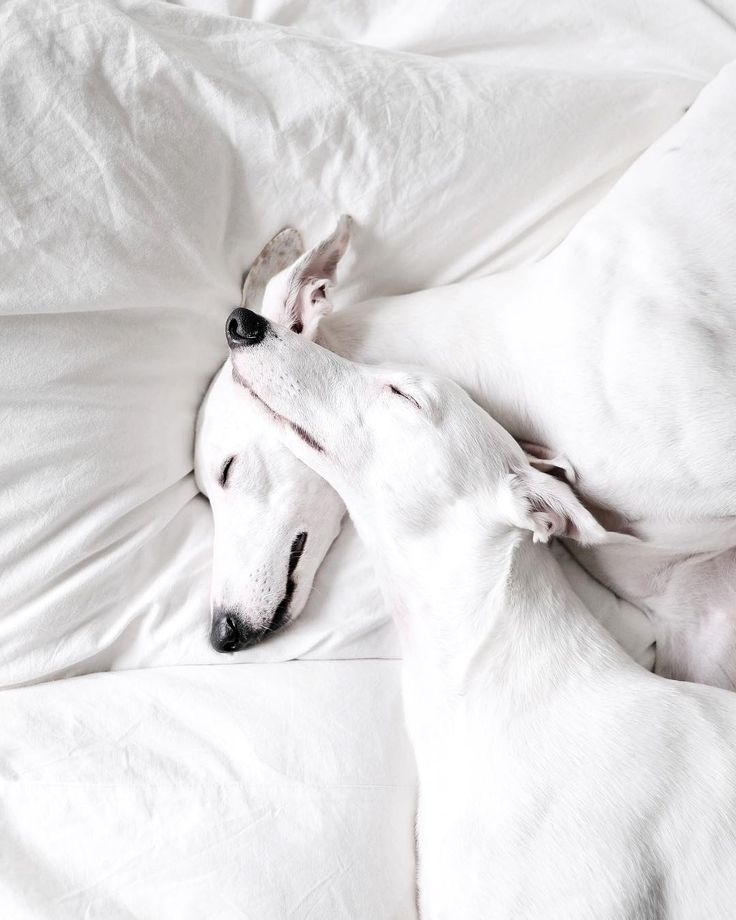 """329 Likes, 3 Comments - Whippet (@whippet.daily) on Instagram: """" //good night (( _ _ ))..zzzZZ Visit my page to view more @whippetdaily229 Via : @_wand_wand …"""""""