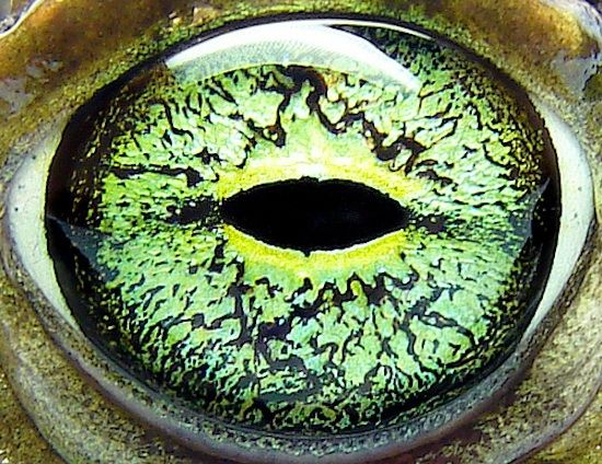 The Eye of the ... Toad. #toad #amphibian #macro illustration research for toad from toad hall