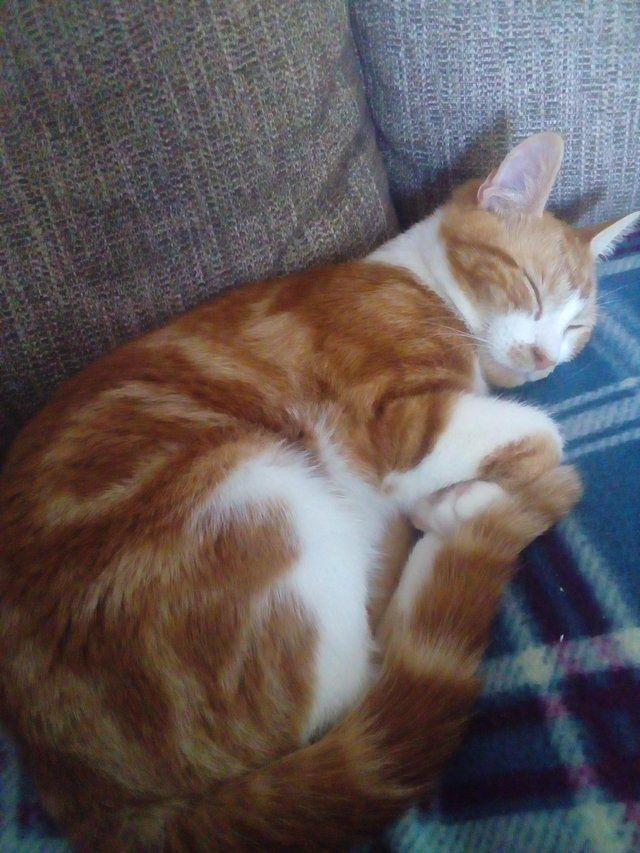 Male ginger white 12 mths old, free to good home For Sale in Broadbridge Heath, West Sussex