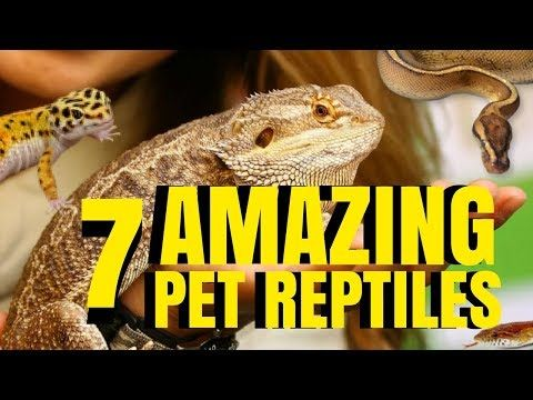 SnakeBytesTV is produced by BHB Reptiles, one of the world's largest snake breeding facilities, and is hosted by Brian Barczyk. New episodes every … source    ...Read More
