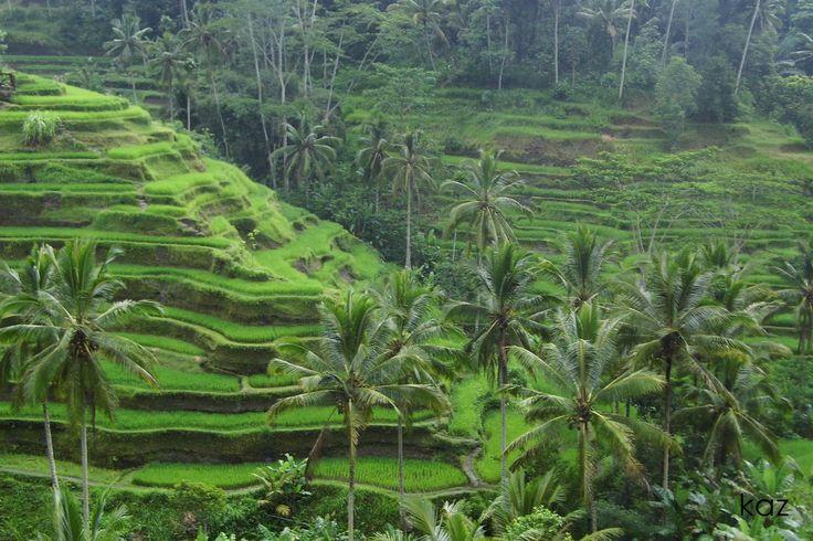 Wisata Menarik Ubud – Ubud adalah jantung budaya Bali. Daerah ini terletak di pegunungan yang sejuk, hanya satu jam perjalanan utara dari bandara dan resor di Bali selatan, Ubud adalah rumah dari keluarga kerajaan Bali dan pusat seni berkembang.