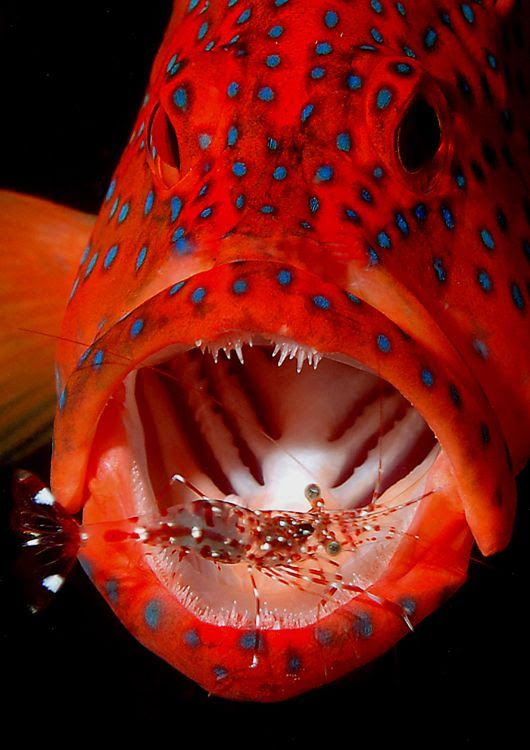 Coral-Trout-Cleaner-Shrimp-Pinned-from-marine-cameras.com-.jpg (530×750)
