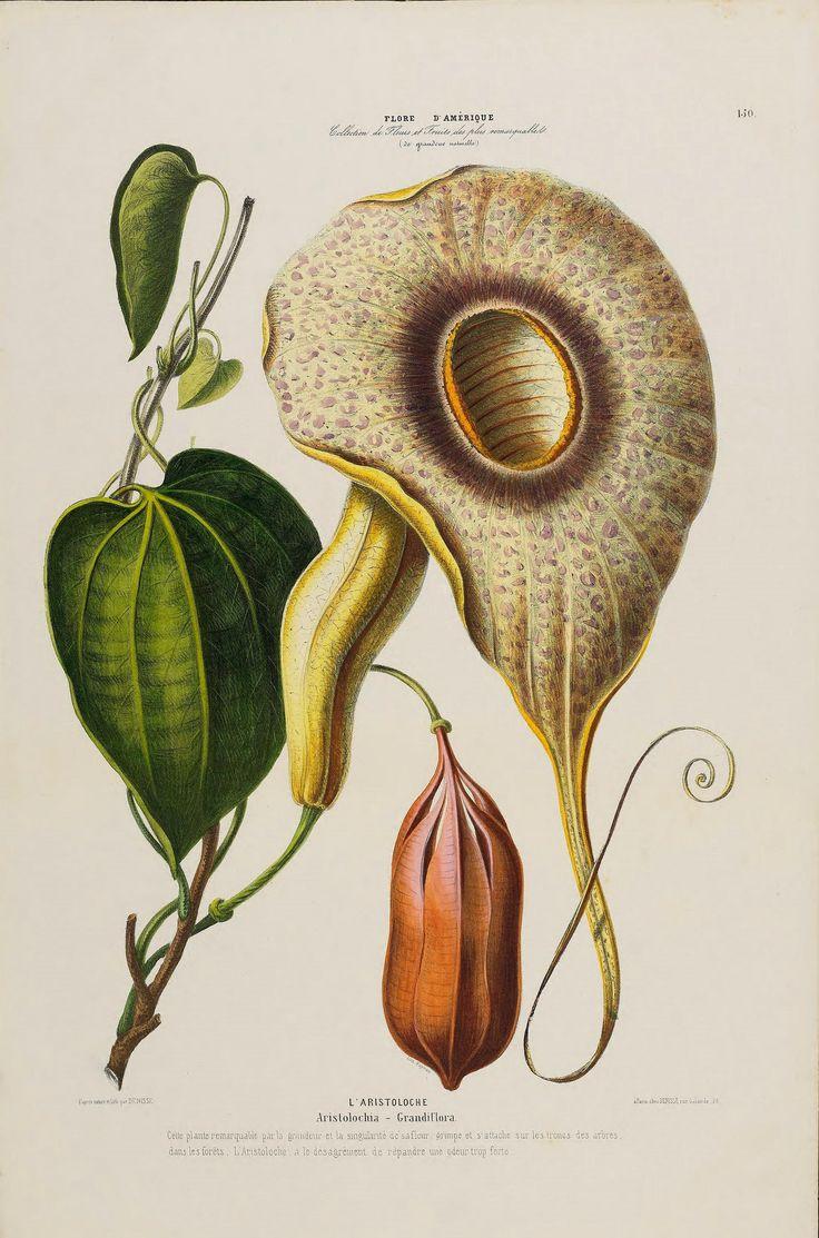 Flore d'Amérique,. Paris,Gihaut[1843-1846]. https://flic.kr/p/UNxsjW | n151_w1150 | Flore d'Amérique,. Paris,Gihaut[1843-1846]. biodiversitylibrary.org/page/47875316