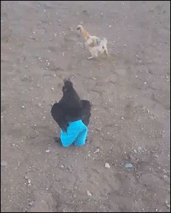 A chicken wearing pants goes for a short jog. Kmsl