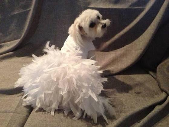 dog wedding attire - Google Search