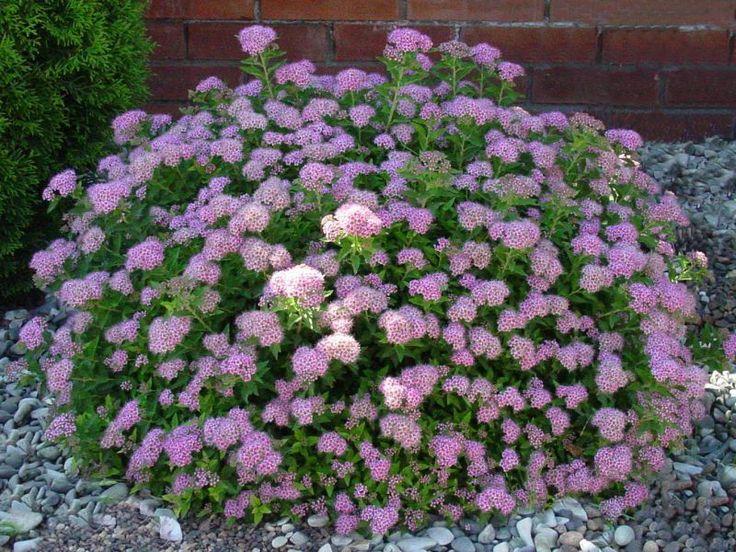 Спирея Литл Принцесс. H 0.6; D 0.8-1.2. Цветение обильное в июне-июле. Обрезая весной оставляют побеги высотой 15-20 см от уровня почвы. Солнце. Почва садовая.