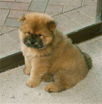 A chow was the very first dog I owned and I still miss him like crazy.