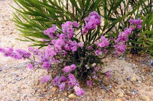 Feather-Flower-Drought-Frost-Tolerant-Small-Shrub-Verticordia-pennigera