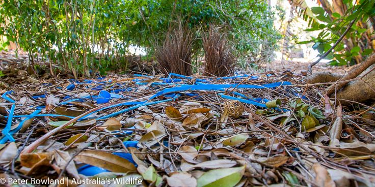 #Satin #Bowerbird #Bower showing a variety of #blue #decorations #aus_wildlife