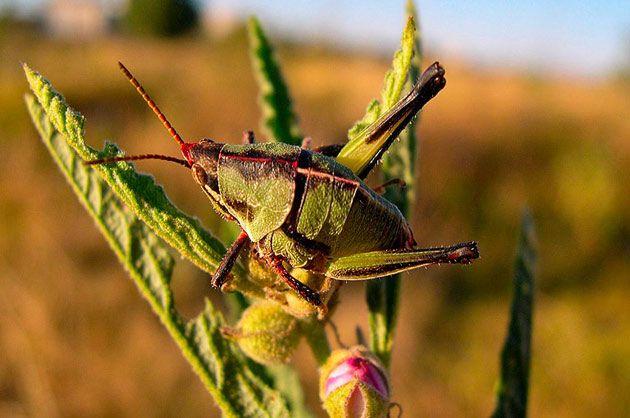 En México habitan más de 47 mil especies de insectos. El más conocido es el chapulín, llamado así por los pobladores prehispánicos quienes lo incluían en sus platillos cotidianos #fauna #naturaleza / Mariano Ragnar