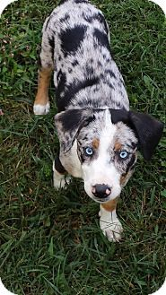 Flemington, NJ - Australian Shepherd/Beagle Mix. Meet Nala, a puppy for adoption. http://www.adoptapet.com/pet/13965656-flemington-new-jersey-australian-shepherd-mix