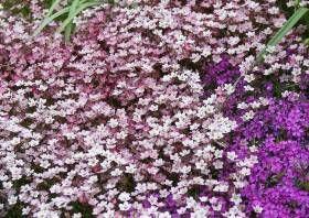 -->[bilder und notizen]: Phlox Subulata Polsterphlox Und Saxifraga Arndsii Vermischen Sich Steingartenpflanzen