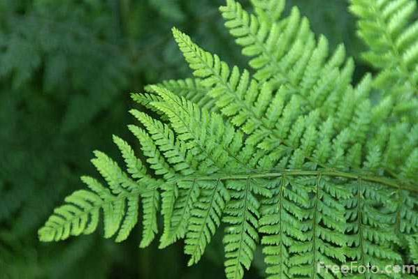 how to make ferns grow