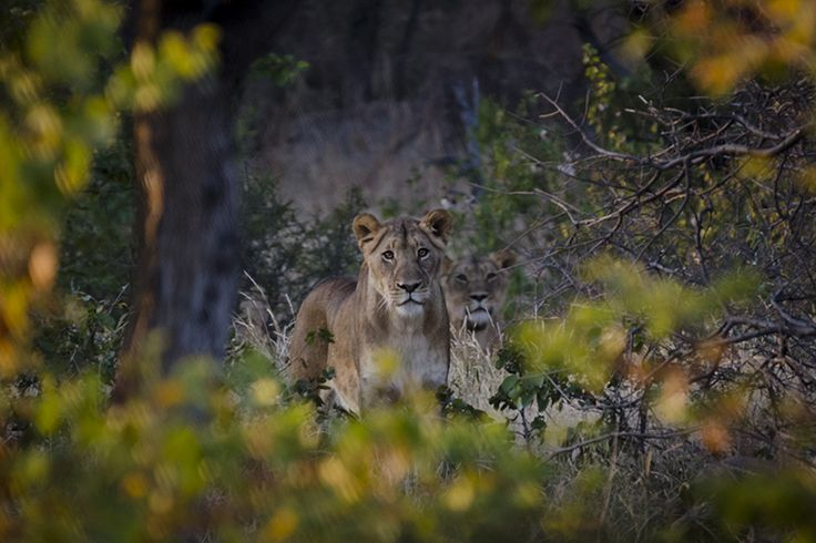 Lioness found after tracking her tracks early in the morning