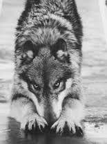 Resultado de imagem para lobo cinzento gigante