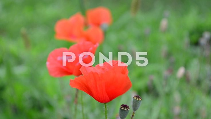Flowers poppy.  #gorgeous #blooming #meadow #bud #agriculture #green #floral #lawn #red #flower #field #bright #fragrant #head #scenery #grass #fragrance #farm #blossom #bloom #petals #daisy #countryside #season #fair #flora #front #lavender #purple #poppy #corn #luminous #pistil #garden #growth #plant #mountain #rural #fragile #scenic #background #lustrous #nature #idyllic #environment #botany #stunning #landscape #freshness #summer