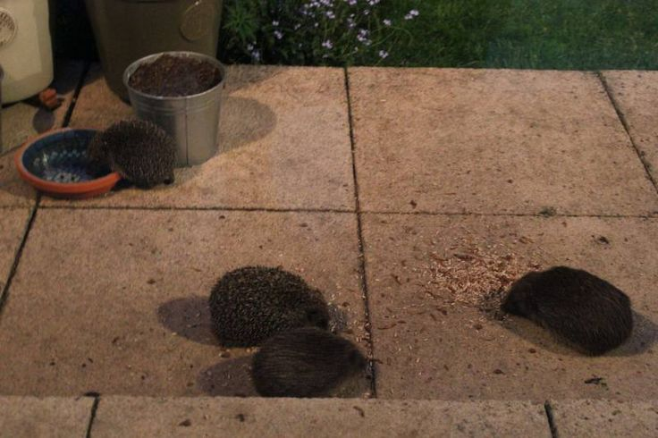 Feeding garden hedgehogs. Hedgehog friendly gardening tips. Attracting hedgehogs to your garden. https://littlesilverhedgehog.wordpress.com/2016/01/18/hedgehog-friendly-gardening/