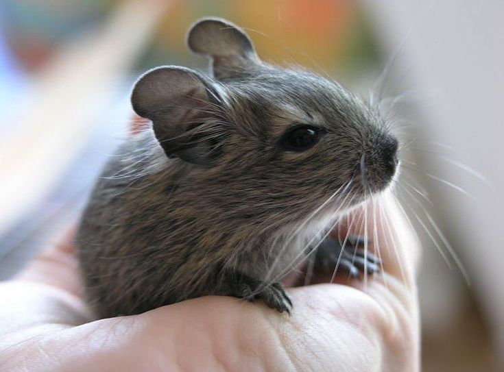Adorable Baby Degu