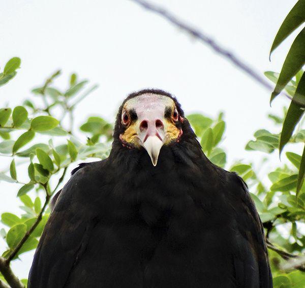 Foto urubu-de-cabeça-amarela (Cathartes burrovianus) por Henrique Junior | Wiki Aves - A Enciclopédia das Aves do Brasil