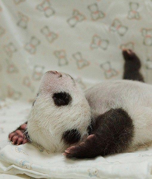 Taipei Zoo panda baby