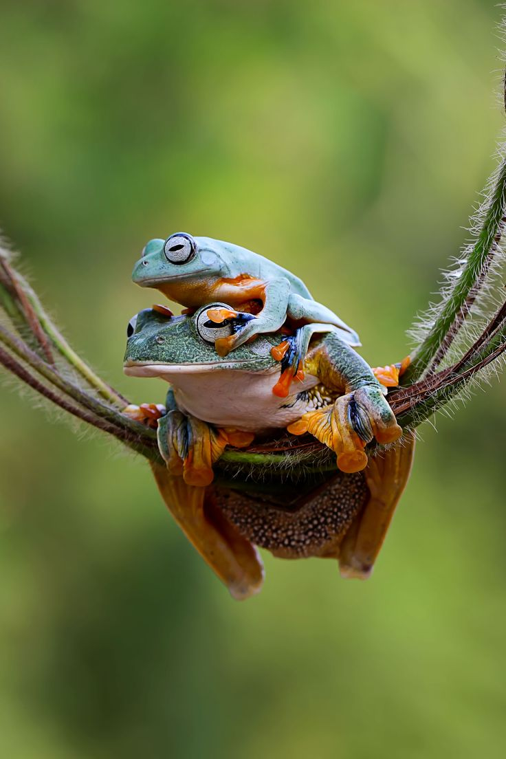 ~~Don't peep big bro! | flying tree frogs | by Herman Menkz~~