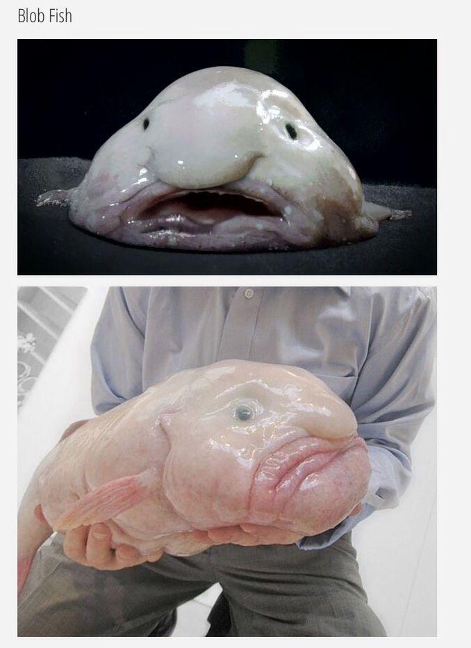 Blob Fish The Blobfish Nobody Likes Me Pinterest Fish