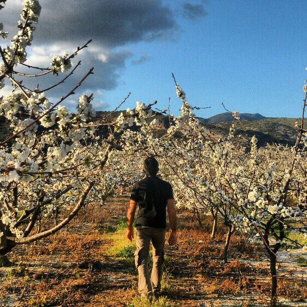 Flower cherries by La Vall de Gallinera Photo by silviafaus
