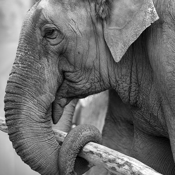Urge the Oklahoma City Zoo to close its elephant exhibit immediately and send the elephants to a sanctuary, where they wouldn't die alone as Chai did.